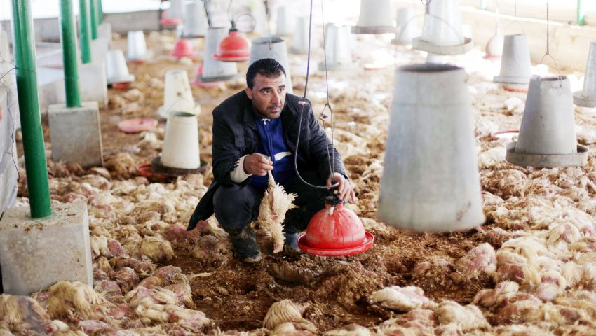 Photo of توجيهات مهمة  للمزارعين ومربي الدواجن من وزارة الزراعة بغزة .